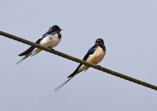 Two Swallows resting