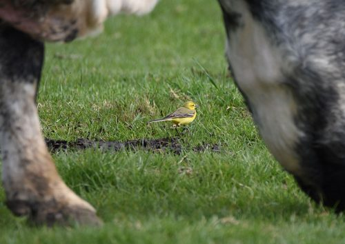Yellow Wagtail with Cattle