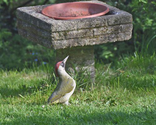 Green Woodpecker by Feeders