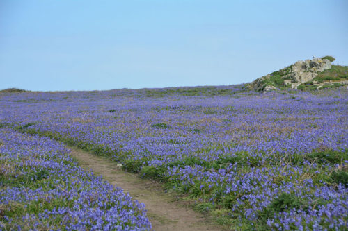 Bluebells-on-Skomer-Island