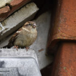 House Sparrow with food