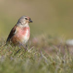 Linnet on Cliff edge