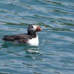 Puffin-swimming-Skomer