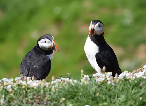 Puffins at the Wick on Skomer