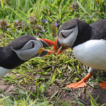 Puffins beak talking