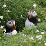 Puffins-looking-out-of-nest