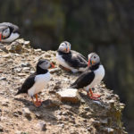 Puffins-on-Rocks