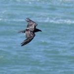 Raven on Skomer