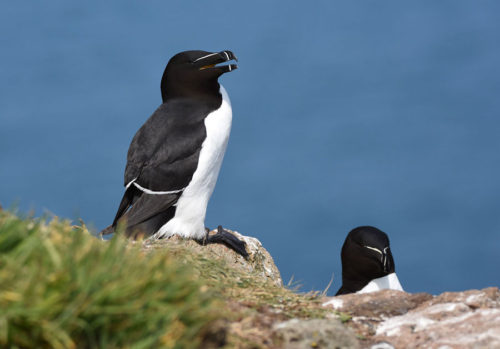 Razorbills on Skomer Island