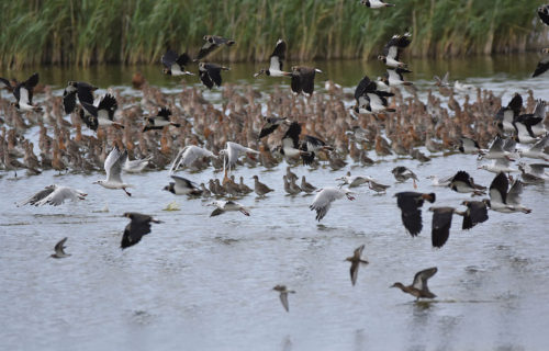 Birds at Oare Marshes