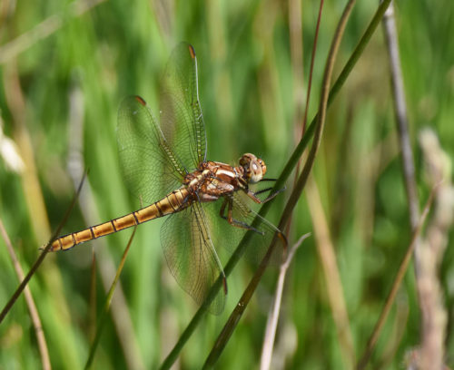 Common Chaser