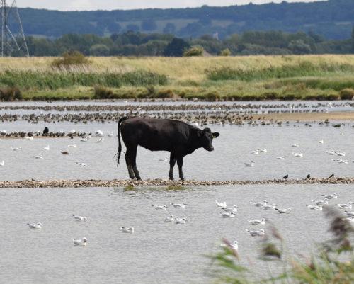Cow photobombing