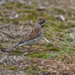 Female-Reed-Bunting