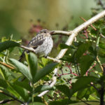 Fledged Spotted Flycatcher