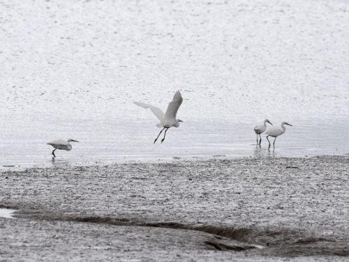 Four Little Egrets Oare