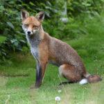 Fox sitting in Garden