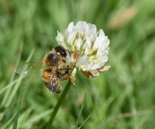 Honey Bee pollinating