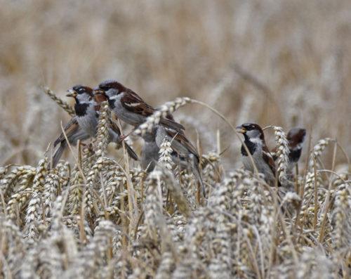 House Sparrows on Corn
