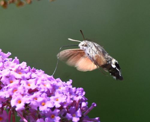 Hummingbird Hawk Moth proboscis