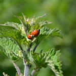 Ladybirds-mating