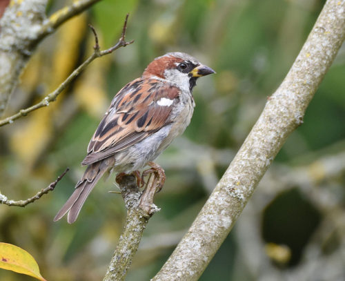 Male House Sparrow late August