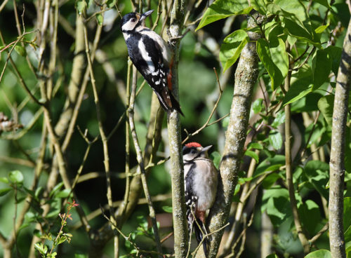 Parent and young Greater Spotted Woodpecker