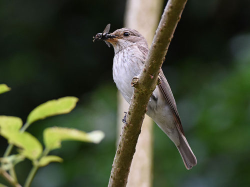 Spotted Flycatcher with food for it