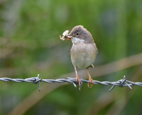 Whitethroat with flies
