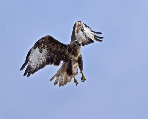 Young-Buzzard-flying