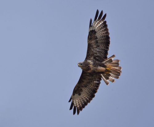 Young-Common-Buzzard
