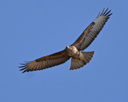 Common Buzzard Kent
