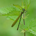 green-Damselfly