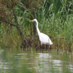 Great White Egret - Fishlake Meadows