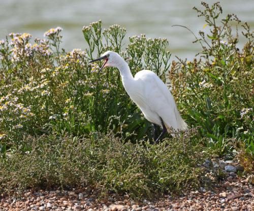 Little Egret calling
