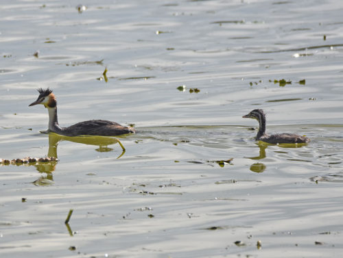 Mother-and-juvenile-Great-Crested-Grebes