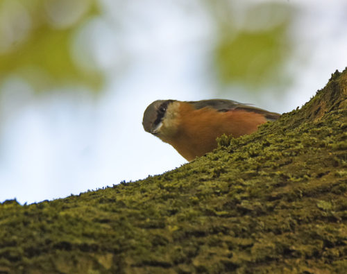 Very aware Nuthatch