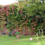 Virginia-Creeper-covering-top-shed