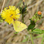 Clouded Yellow Butterfly in November