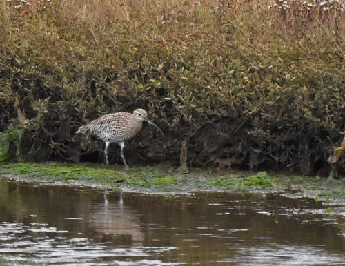 Curlew at Arne
