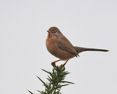Dartford Warbler at Arne