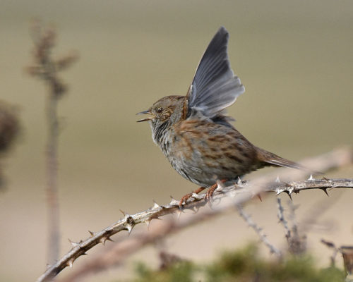 Dunnock taking off