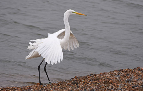 Great White Egret Burrowes Dungeness