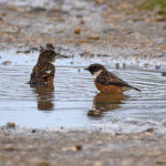 Male Female Stonechat bathing