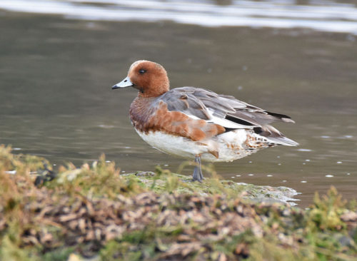 Pochard Warsash