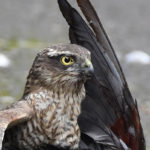 Sparrowhawk predating in daytime