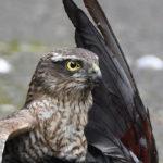 Sparrowhawk predating in daytime