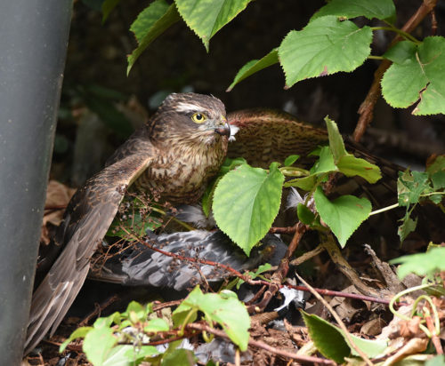 Sparrowhawk eating its catch