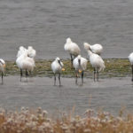 Spoonbills at Arne