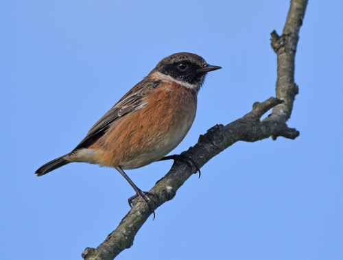 Stonechat in November