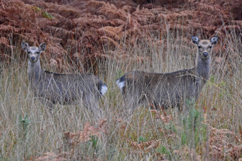 Two-Deer-at-Arne